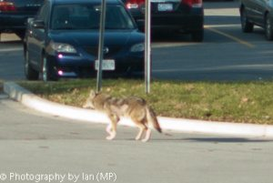 Coyote in ET Seton Park