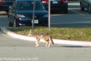 Coyote in ET Seton Park